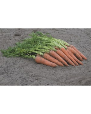 Marchew VITA LONGA 500 gr. nasion ZW  ST