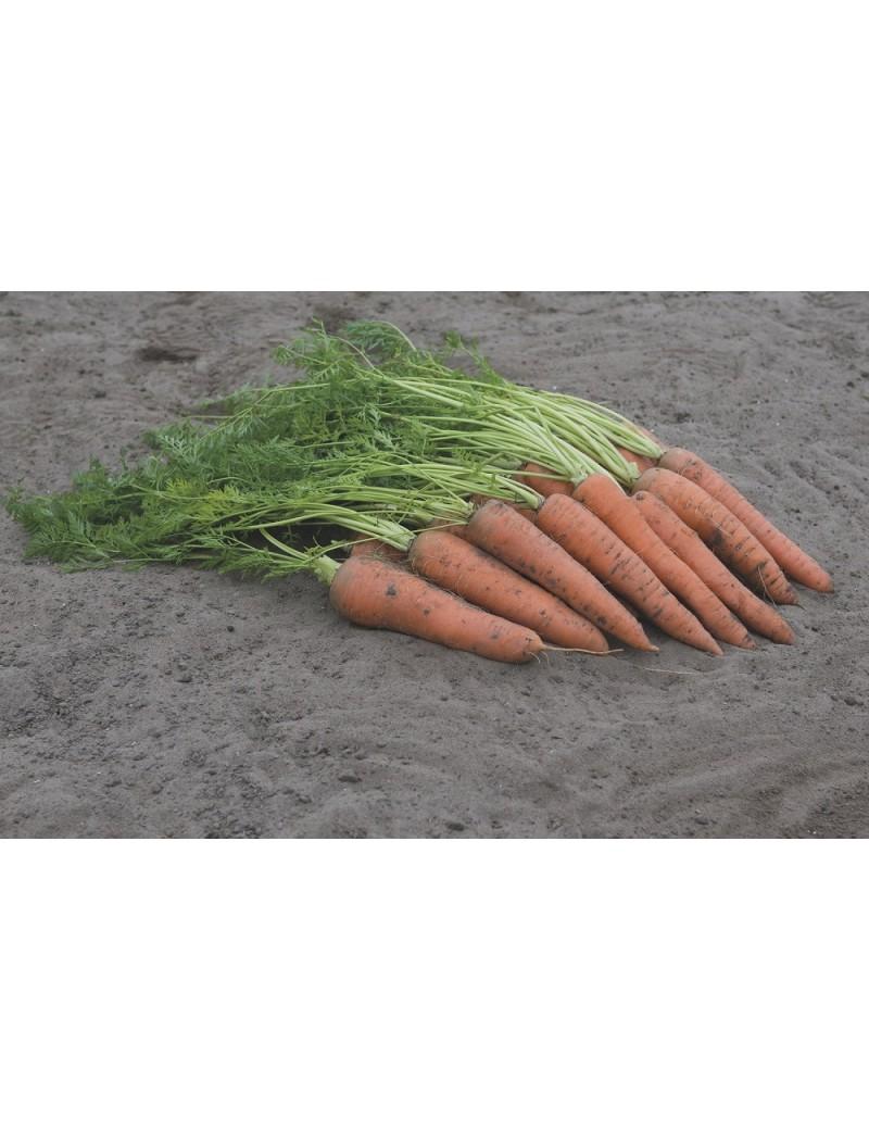 Marchew VITA LONGA 50 gr. nasion ZW  ST