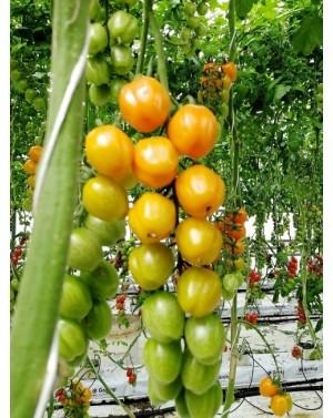 Pomidor 142-550 (CHICK) 100...