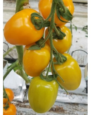 Pomidor V534 250 nasion ZW  ST