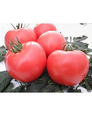 Pomidor BELLADONA 1.000...