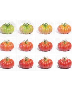 Pomidor MONTEROSA(HB101153)...
