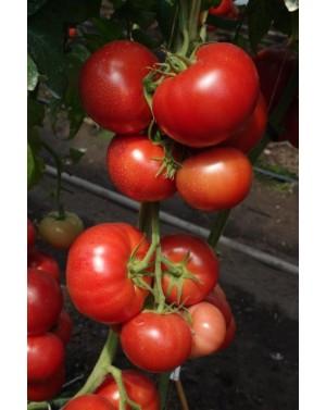 Pomidor MAHITOS 100 nasion...