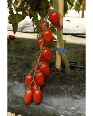 Pomidor ZUCCHERINO 500...