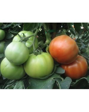 Pomidor AVATAR 500 nasion...