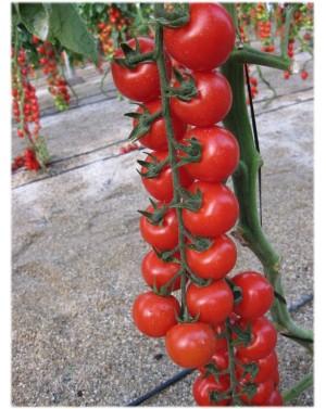 Pomidor INTRIGO 500 nasion...