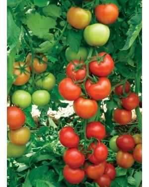 Pomidor ANTALYA (HOBBY) 50 nasion ZW  ST