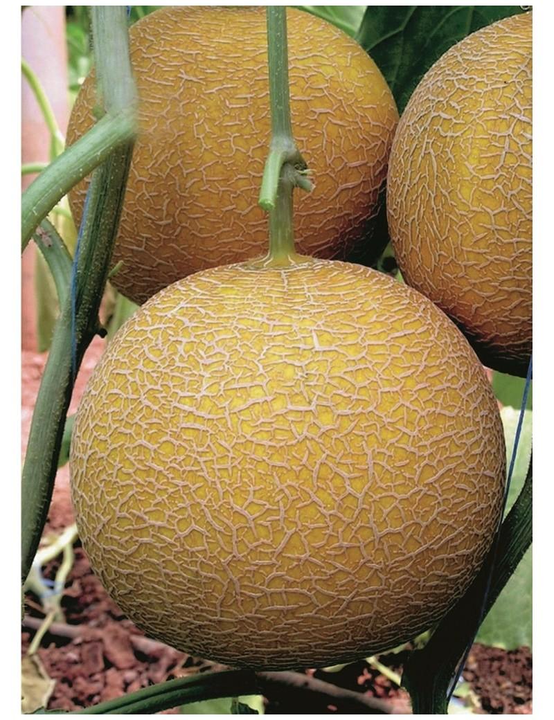 Melon Gediz 50 nasion