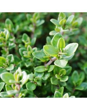 Tymianek Semiorto, aromatyczne liście. Rosliny o wysokości 20-60 cm.