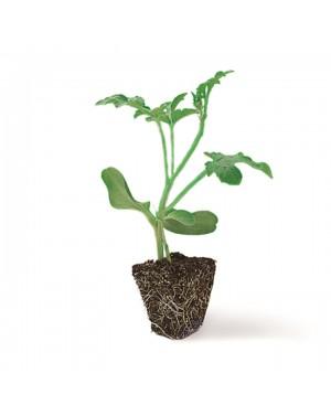 Mieszańcowa podkładka do ogórka. Odporna na Verticillium oraz Fusarium. Podnosi tolerancję na stres oraz warunki uprawy.
