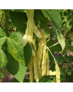 Żółta fasola tyczna do upraw pod osłonami. Okres wegetacji ok.60 dni. Odmiana odporna na choroby.