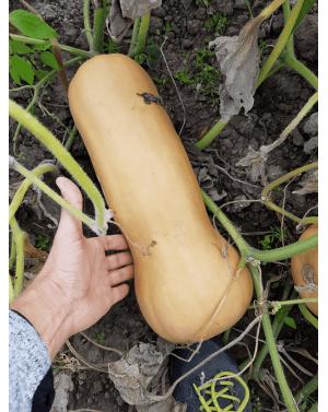 Dynia butternut o wadze 2,5-3 kg i długiej przydatności pozbiorczej.