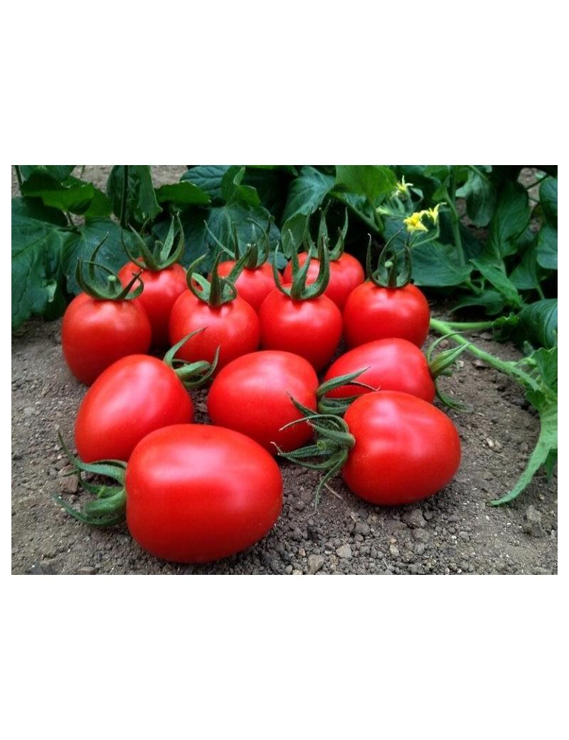 Pomidor Marcus 50 nasion
