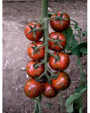 Pomidor Tiger 50 nasion