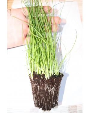 Odmiana charakteryzująca się silnymi roślinami o wysokiej odporności na rdzę.