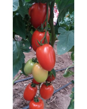 Pomidor Millonety 50 Nasion