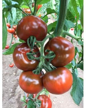 Pomidor Leyenda 250 nasion,odmiana wczesna czekoladowo-czerwona.