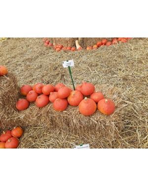 Dynia Orange Summer 500 nasion