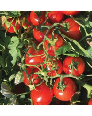 Pomidor N 6438 5.000 NASION