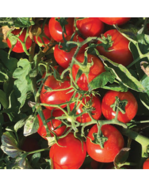 Pomidor N6438 1.000 NASION