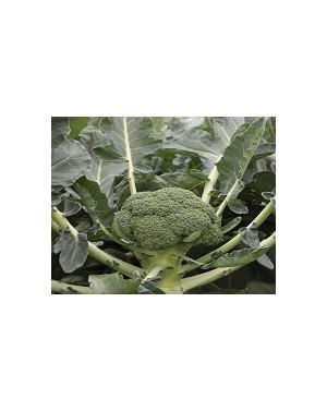 Brokuł Monclano 2.500 nasion