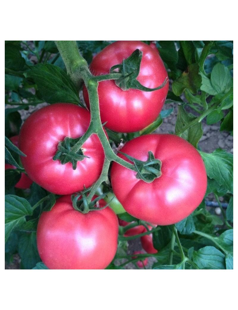 Pomidor PINK ROCK 100 nasion