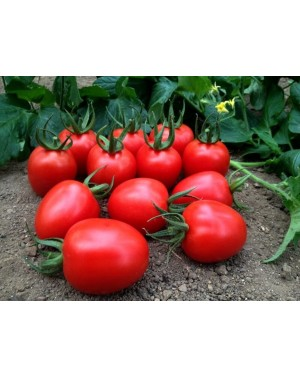 Pomidor MARCUS 100 nasion