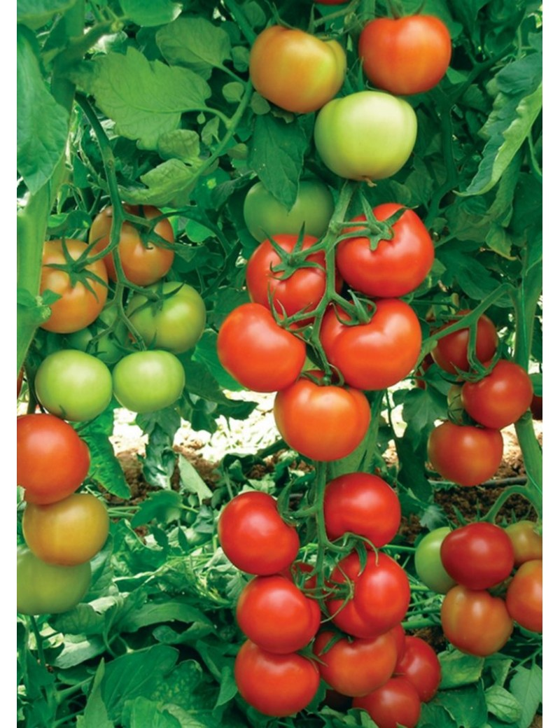 Pomidor ANTALYA 100 nasion