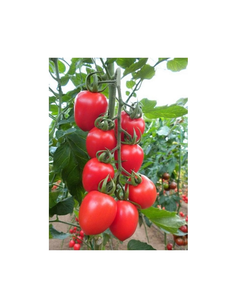 Pomidor RED HEART (HOBBY) 50 nasion