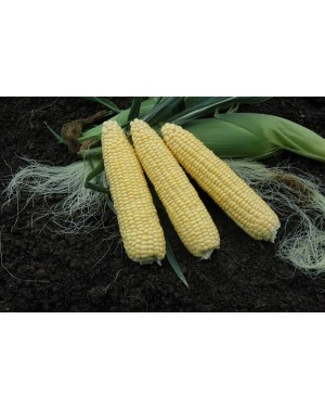 Kukurydza cukrowa TAKEOFF 5.000 Nasion