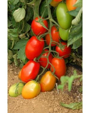Pomidor OCEANO 100 nasion ZW