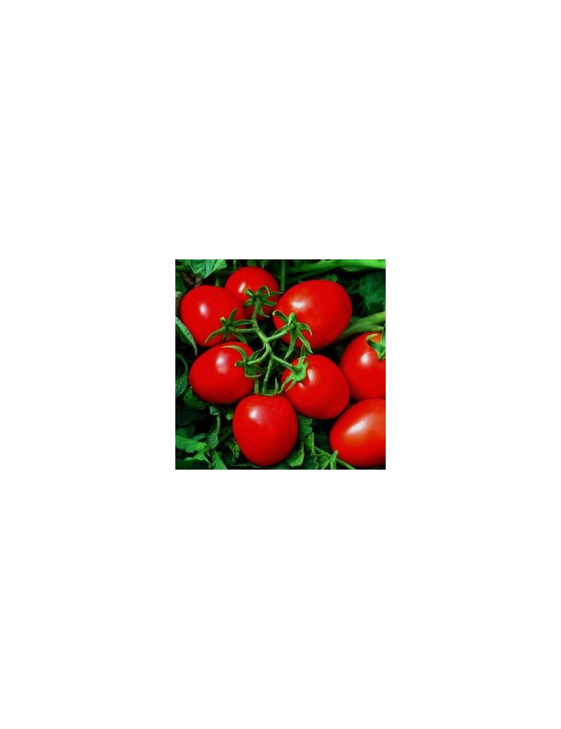 Pomidor JET 5.000 Nasion