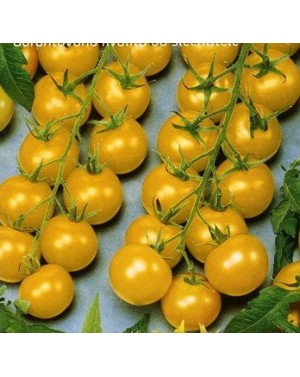 Pomidor GOLDKRONE 1 gr. nasion ZW