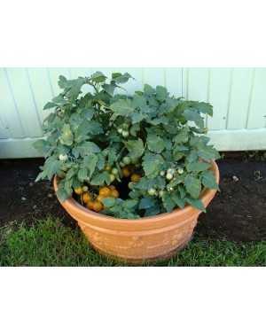 Pomidor VENUS 5 gr. nasion ZW