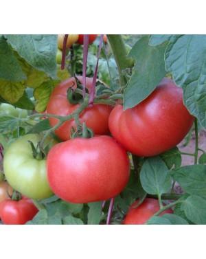 Pomidor  DIMEROSA 500...