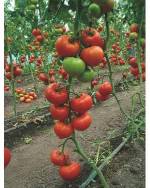 Pomidor BELLFORT 500 nasion...