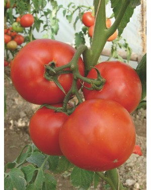 Pomidor BERBERANA  500...