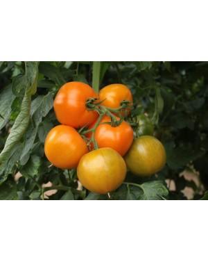Pomidor TAIYO (TI-169) 250...