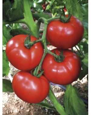 Pomidor CEMILIA 100 nasion...