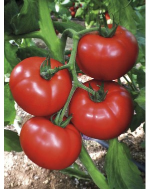 Pomidor CEMILIA 250 nasion...