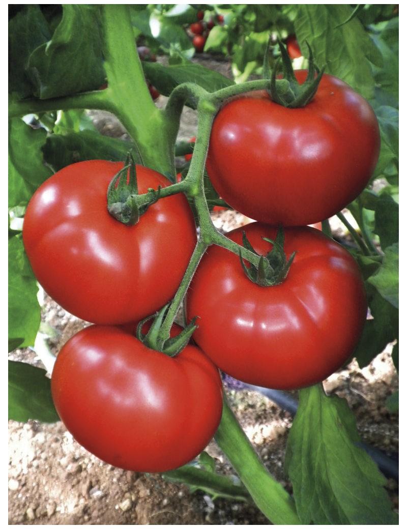 Pomidor CEMILIA 250 nasion ZW  ST