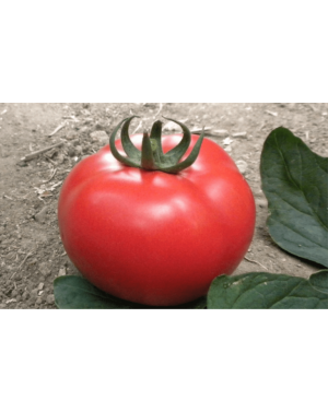 Pomidor EKIN 500 nasion ZW  ST