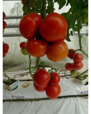 Pomidor EURASIA 100 nasion...