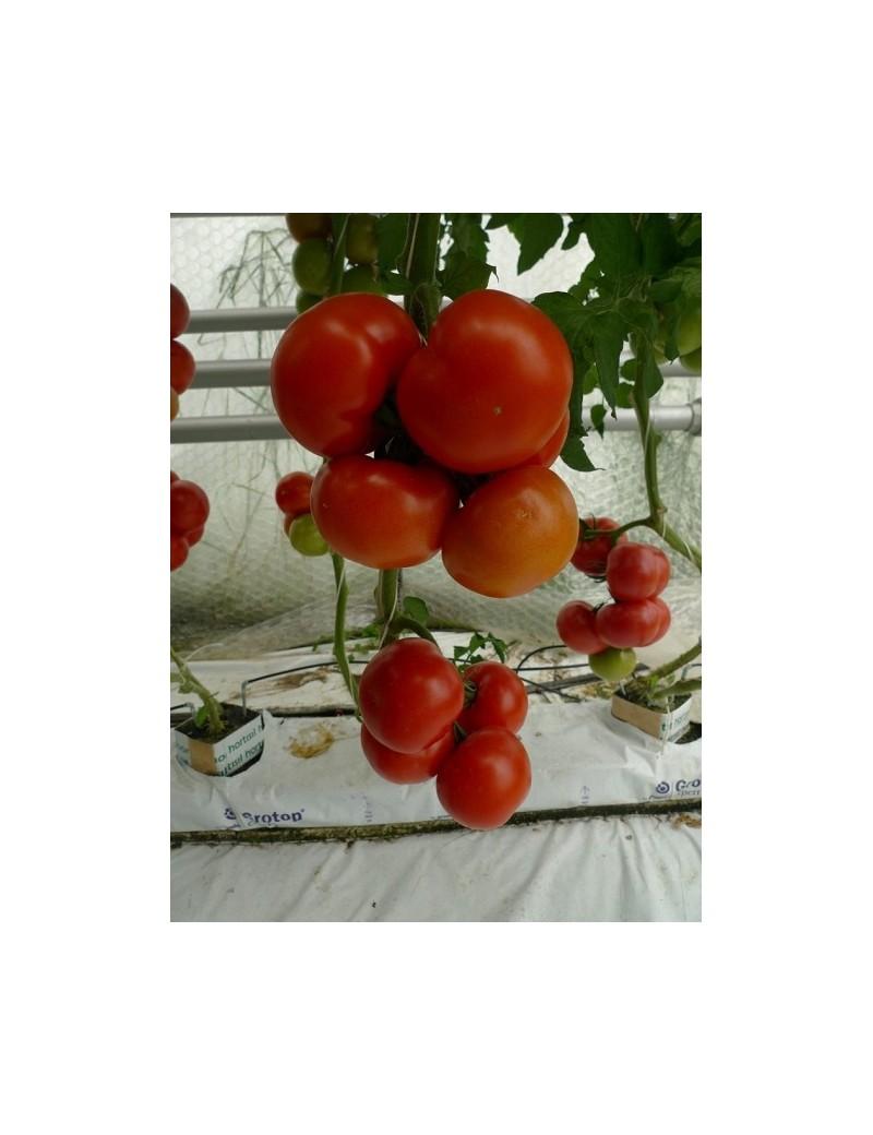 Pomidor EURASIA 100 nasion ZW  ST