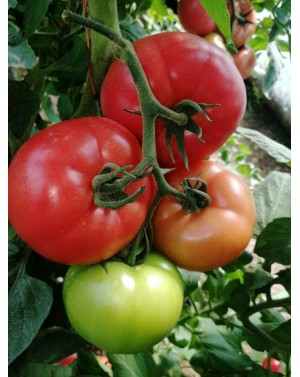 Pomidor GUSTO PINK 1.000...