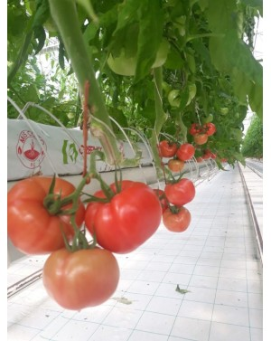 Pomidor PINK PANTER 100...