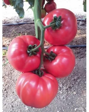 Pomidor Pink Rock 250 nasion
