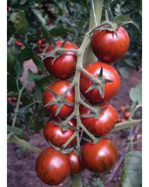 Pomidor TIGER 100 nasion ZW...
