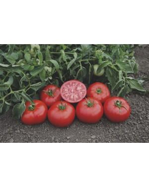 Pomidor TOMSK 1.000 nasion...