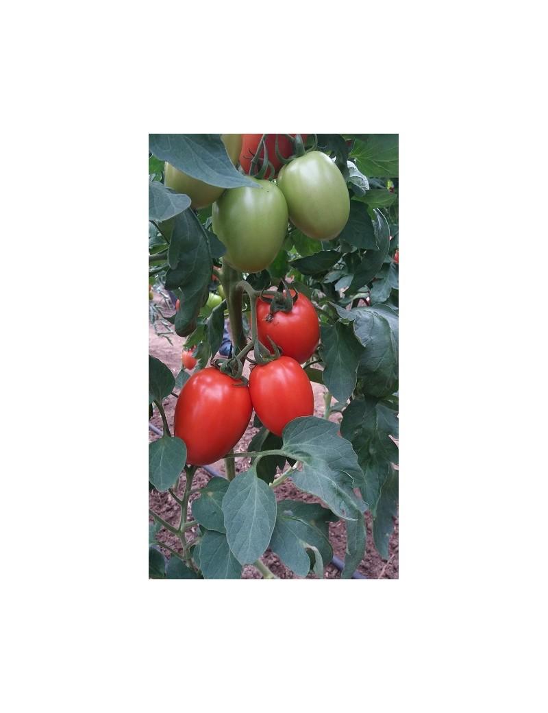 Pomidor MILLONETY 250 nasion ZW  ST